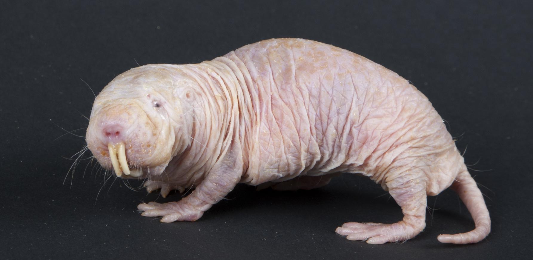 The intestinal biology of naked mole rats